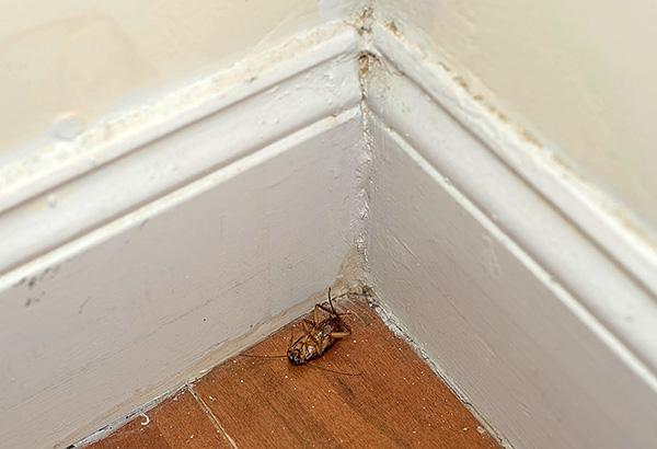 Les parasites individuels, pénétrant par exemple chez les voisins, sont condamnés à mort après le contact avec des particules d'un crayon insecticide.