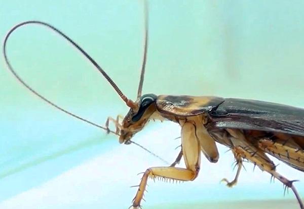 La photo montre comment la blatte nettoie ses antennes - si elles contiennent des particules de poison, elles seront certainement avalées.