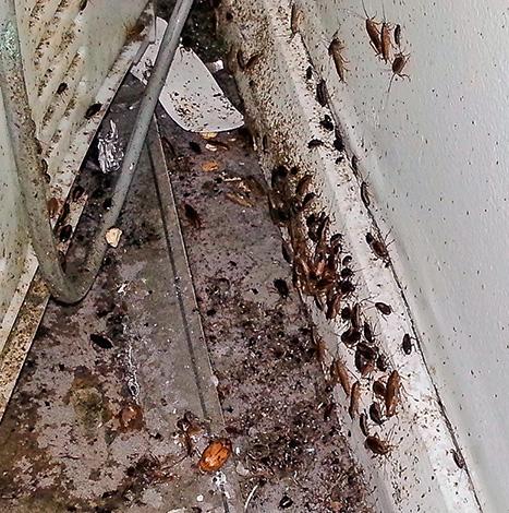 Derrière le réfrigérateur et la cuisinière à gaz, vous pouvez parfois trouver littéralement des essaims de cafards ...