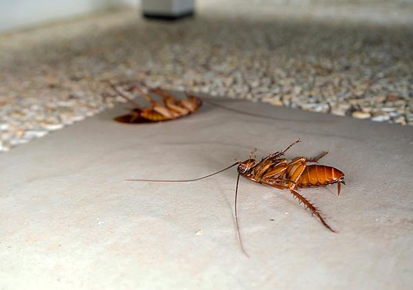 Les insecticides qui font partie du Dichlorvos ont un effet neuroparalytique sur les blattes (ils conduisent à une paralysie et à la mort de l'insecte).