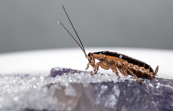 La plupart des poudres insecticides modernes tuent les cafards en raison du double effet d'empoisonnement - contact et intestinal.