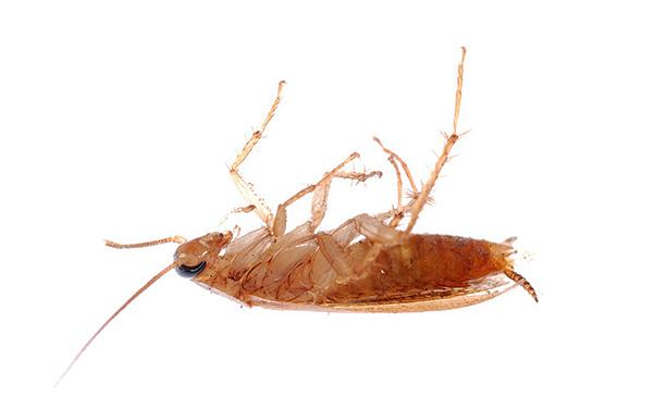 Lorsqu'ils sont utilisés correctement, les insecticides en poudre aident à tuer efficacement les cafards, mais quels moyens choisir? ..