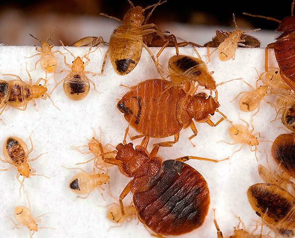 Considérez un certain nombre de méthodes qui aident réellement à détruire complètement les insectes dans l'appartement ...