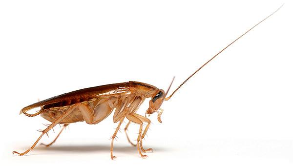 Pour éliminer efficacement les blattes dans la maison, il est important de respecter un certain nombre de règles ...