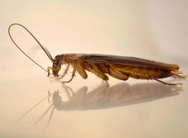 Les particules d'insecticide de la blatte avalent quand elle nettoie ses antennes et ses jambes.