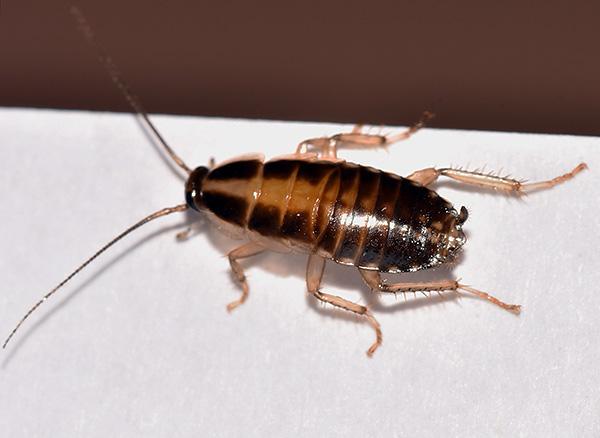 Lors du traitement de dustami, il convient d'accorder une attention particulière aux lieux d'accumulation et au mouvement des blattes.