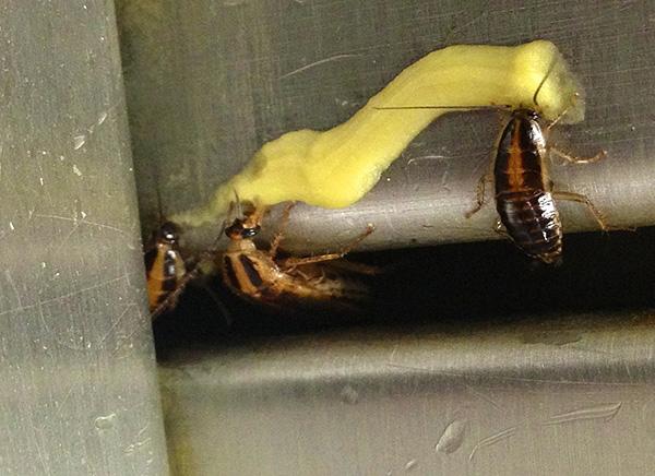 Les gels insecticides sont considérés comme l'un des moyens les plus efficaces et pratiques de lutter contre les blattes.