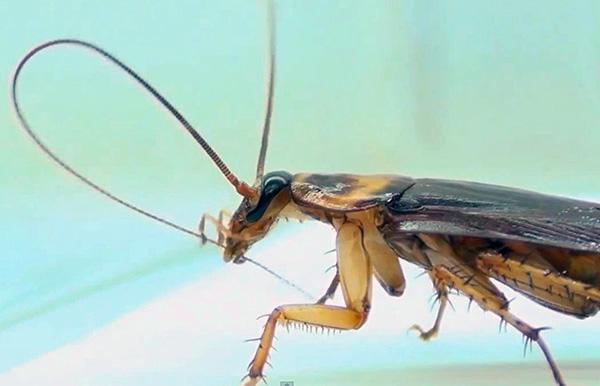 Lorsque la blatte se nettoie, elle avale des particules de poussière collées aux antennes et aux pattes.