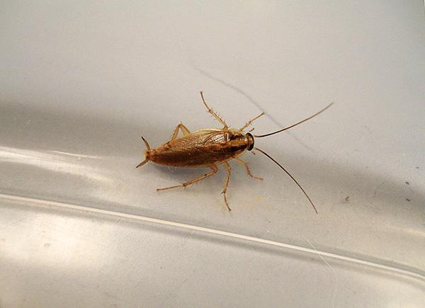 Les poussières insecticides sont capables de maintenir leurs propriétés toxiques pendant une longue période, ce qui peut être utilisé pour la prévention des blattes.