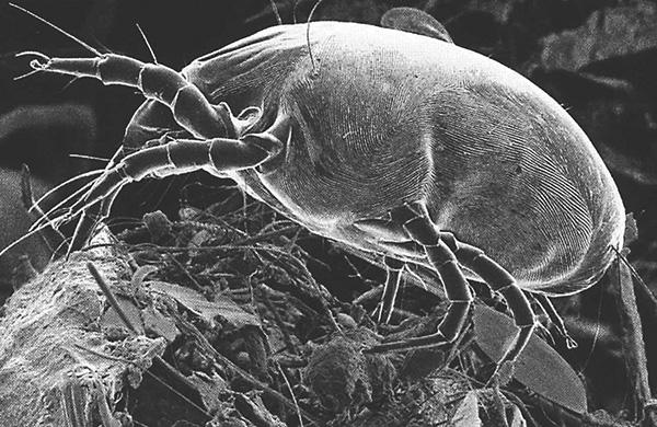 Dermatophagoides pteronyssinus (photo prise au microscope électronique à balayage).