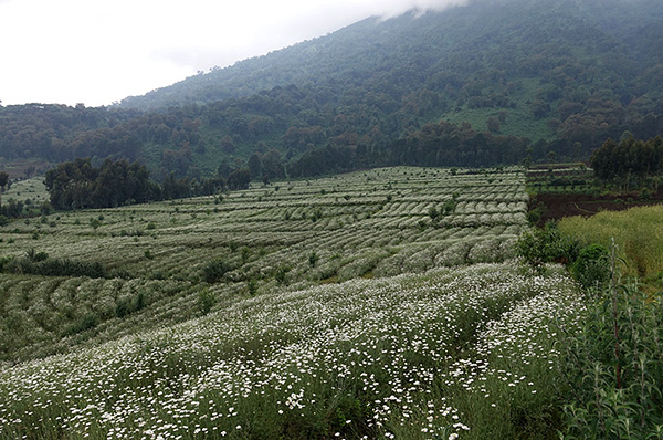 Les insecticides naturels des pyréthrines sont présents dans les fleurs de certaines espèces de pâquerettes.