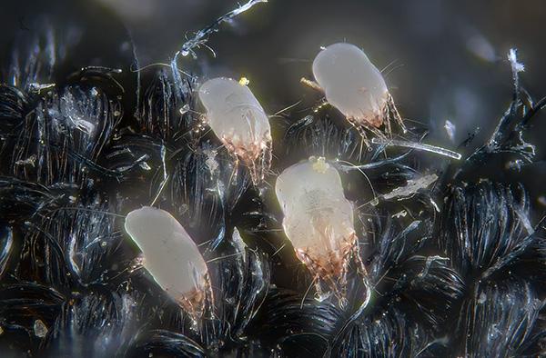 Les excréments des acariens contiennent des enzymes digestives qui sont de puissants allergènes pour l'homme.