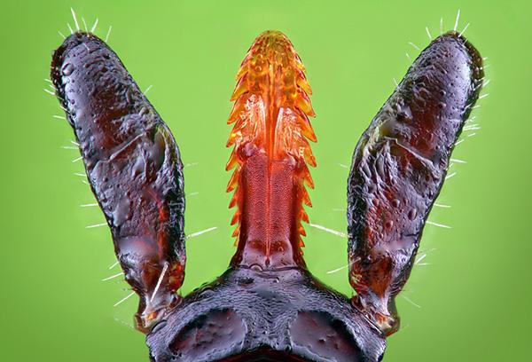 La tique de l'hypostome est maintenue dans la peau comme un harpon.
