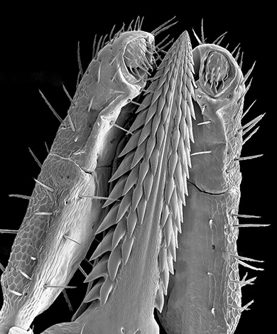 L'apparition de la tique proboscide au microscope.