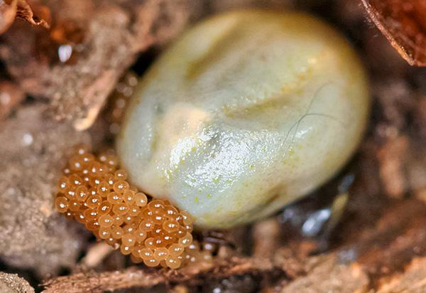 L'acarien femelle chatouillé de sang pond ses œufs à partir de feuilles mortes.