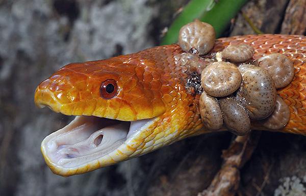 Des tiques sur le serpent.