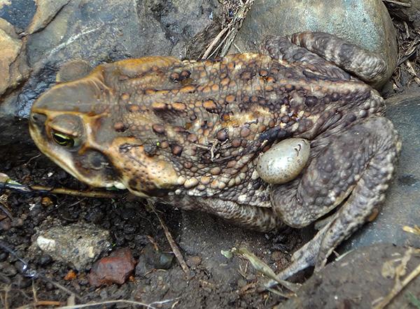 Les ixodides peuvent également parasiter les crapauds et les grenouilles.